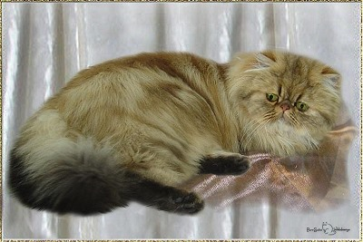 Sunnybeach Madison of Purrsatin ... golden-shaded female, born 2005